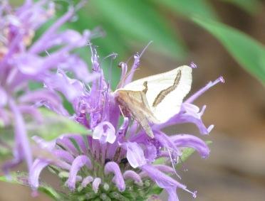 Eriplatymetra coloradensis