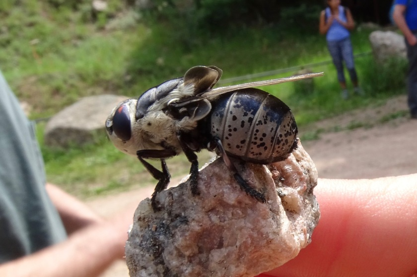 Bot Fly, Cuterebra, family Oestridae, probably a rabbit bot