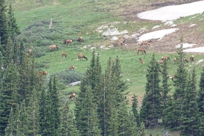 Elk at Horseshoe Mtn