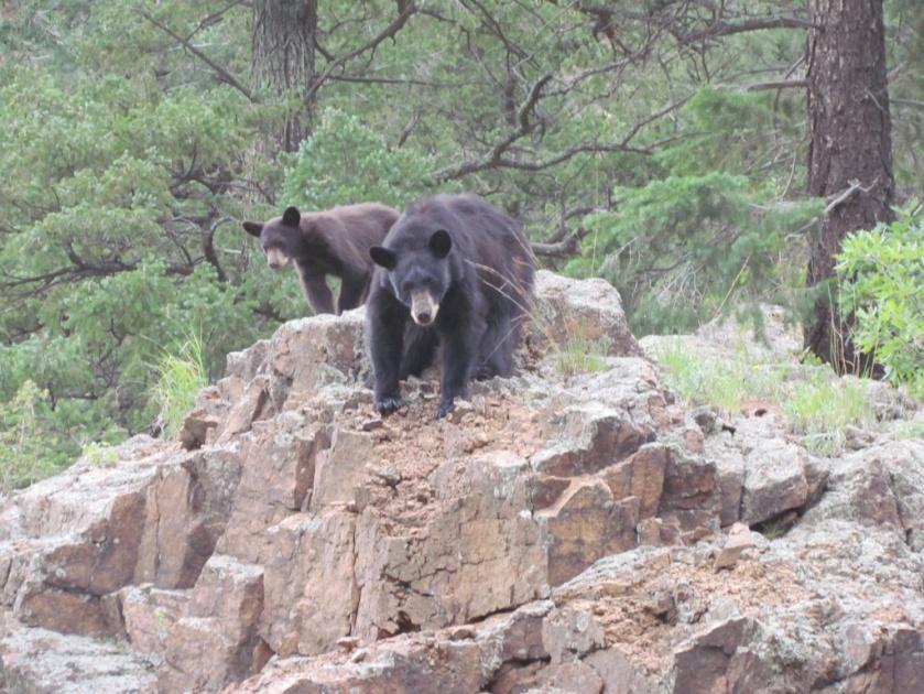 Bear BCC1.JPG