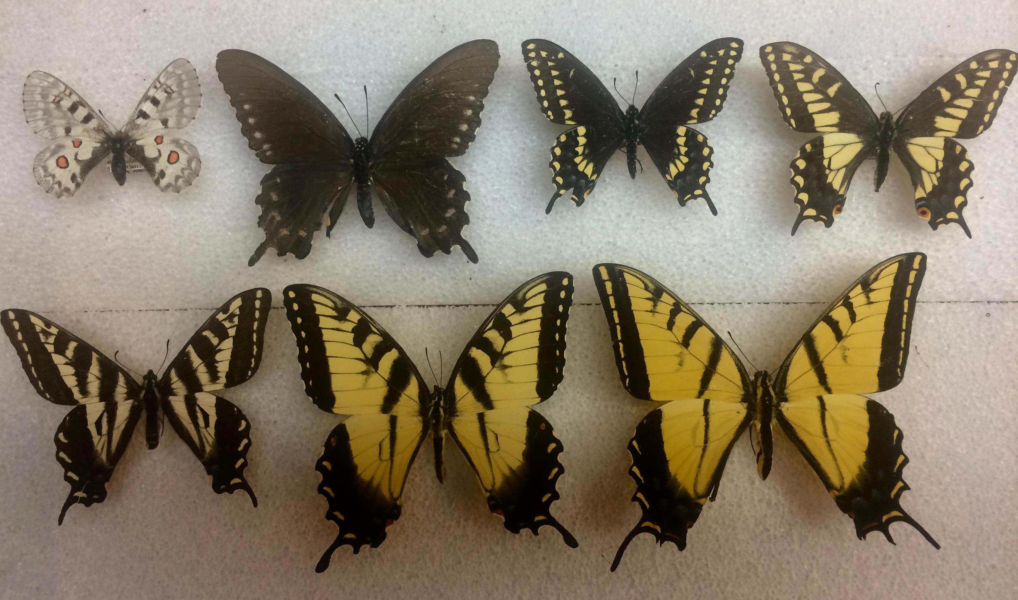 Papilionidae